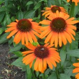 Echinacea Emotion Bright Orange