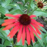 Echinacea Emotion Inferno