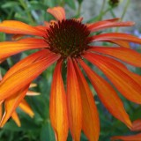 Echinacea Emotion Orange