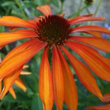 Echinacea Emotion Series (4)