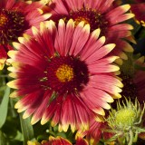 Gaillardia 'Lunar Two Moons' ™