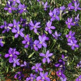 Laurentia (Isotoma) 'Fizz 'n' Pop Dark Blue'