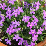 Laurentia (Isotoma) 'Fizz 'n' Pop Glowing Purple'