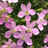 Laurentia (Isotoma) 'Fizz 'n' Pop Pink'