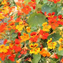 Nasturtium Flame Thrower (8)