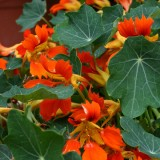 Nasturtium 'Flame Thrower Orange'