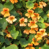 Nasturtium 'Flame Thrower Salmon'