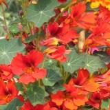 Nasturtium 'Flame Thrower Scarlet'
