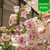Penstemon 'Ice Cream Brambleberry'