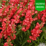Penstemon 'Ice Cream Bubble Gum'