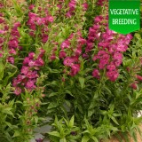 Penstemon 'Ice Cream Juicy Grape'