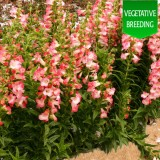 Penstemon 'Ice Cream Melting Candy'