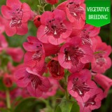 Penstemon 'Ice Cream Raspberry Pavlova'