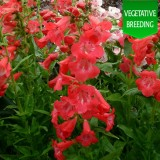 Penstemon 'Ice Cream Raspberry Ripple'