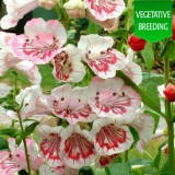 Penstemon 'Ice Cream Strawberry Cream'