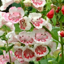 Penstemon Ice Cream (11)