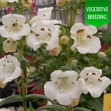 Penstemon 'Ice Cream Vanilla'