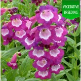 Penstemon 'Ice Cream Vanilla Plum'