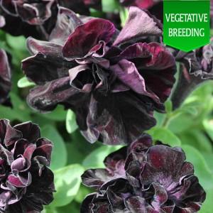 Petunia 'Black Knight'