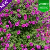 Petunia Climbing 'Purple Rocket'