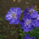 Scabiosa 'Blue & Light Blue'