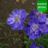 Scabiosa 'Blue & Light Blue'