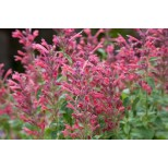 Agastache 'Acapulco Deluxe Carmine Red'