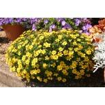 Bidens 'Pirates Gold'