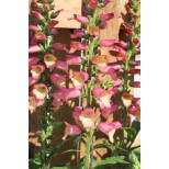 Digitalis 'Illumination Pink'