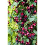 Fuchsia 'Lady in Black'