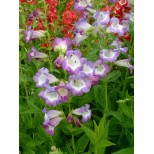 Penstemon 'Ice Cream Blueberry Fudge'